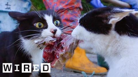 Cat Expert Explains Why Some Cats Eat Human Corpses | WIRED
